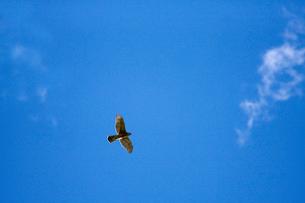 ハイタカ 飛翔の写真素材 [FYI03218906]
