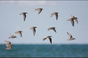 コアオアシシギ 飛翔の写真素材 [FYI03218908]