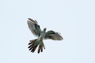 カッコウ 飛翔の写真素材 [FYI03218916]