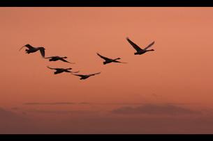 コハクチョウ 飛翔の写真素材 [FYI03218926]