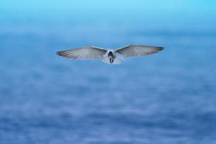 クロハラアジサシ 飛翔の写真素材 [FYI03218927]