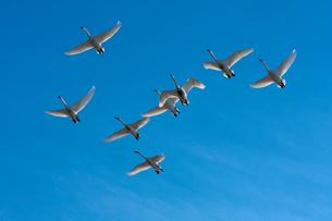 群飛するコハクチョウの写真素材 [FYI03218940]