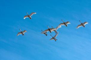 群飛するコハクチョウの写真素材 [FYI03218943]