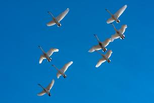 群飛するコハクチョウの写真素材 [FYI03218945]