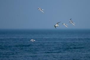 群飛するアジサシの写真素材 [FYI03218948]