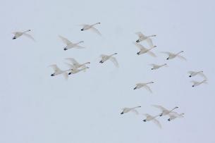 降雪の中、群飛するコハクチョウの写真素材 [FYI03218949]