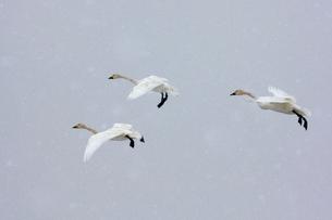 降雪の中、群飛するコハクチョウの写真素材 [FYI03218951]