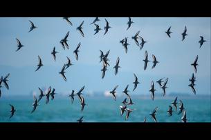 ミユビシギ 群飛の写真素材 [FYI03218952]