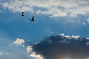 飛翔する2羽のコハクチョウの写真素材 [FYI03218954]