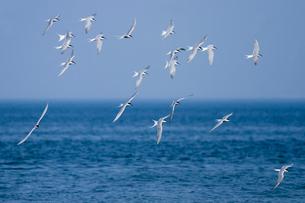 群飛するアジサシの写真素材 [FYI03218956]