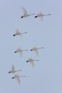 降雪の中、群飛するコハクチョウの写真素材 [FYI03218958]
