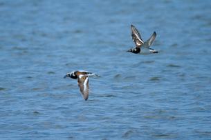 飛翔する2羽のキョウジョシギの写真素材 [FYI03218961]