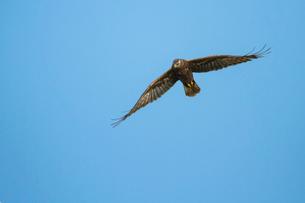 飛翔するチュウヒの写真素材 [FYI03218962]