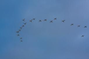 群飛するコハクチョウの写真素材 [FYI03218963]