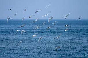 群飛するアジサシの写真素材 [FYI03218965]