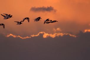 ミヤコドリ 飛翔の写真素材 [FYI03218970]