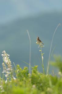 オオバギボウシにホオアカの写真素材 [FYI03219303]