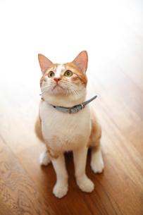 見上げる猫の写真素材 [FYI03219357]