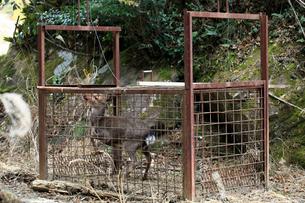 捕獲檻に掛かった鹿の写真素材 [FYI03219375]