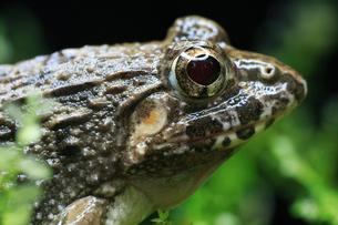鼓膜が区別できるヌマガエルの顔の写真素材 [FYI03219378]