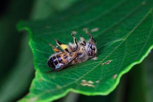 葉の上で息絶えたニホンンミツバチの写真素材 [FYI03219407]