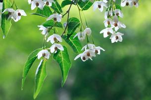 渓流沿いの森で花を咲かせたエゴノキの写真素材 [FYI03219418]