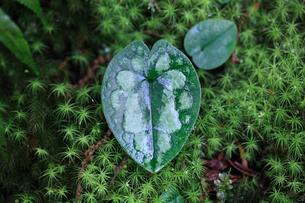 林床に生えるカンアオイの仲間の写真素材 [FYI03219421]