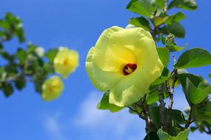 青空を背景に咲くハマボウの写真素材 [FYI03219436]