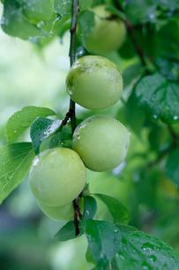 雨に濡れる梅の実の写真素材 [FYI03219438]