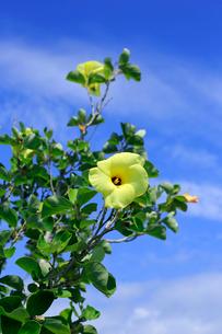 青空を背景に咲くハマボウの写真素材 [FYI03219447]