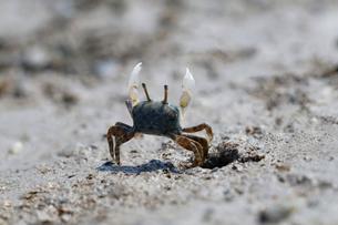 干潟で万歳してナワバリを主張するチゴガニの写真素材 [FYI03219448]