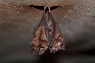 仲良く床下にぶら下がるコウモリの写真素材 [FYI03219451]