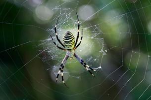 畑に巣を構えたジョロウグモの写真素材 [FYI03219452]
