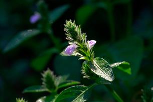 畑の脇に咲いたキツネノマゴの写真素材 [FYI03219455]