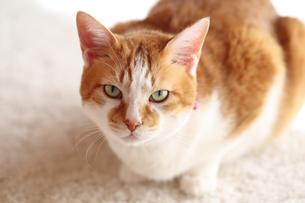飼い主を見つめる猫の写真素材 [FYI03219467]