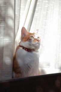 縁側の窓から庭を見つめる猫の写真素材 [FYI03219471]