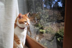縁側の窓から庭を見つめる猫の写真素材 [FYI03219472]