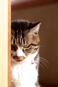 じっと見つめる猫の写真素材 [FYI03219475]