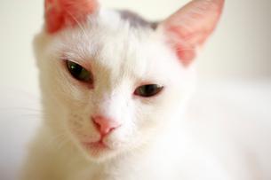 恍惚とした表情を浮かべる猫の写真素材 [FYI03219476]