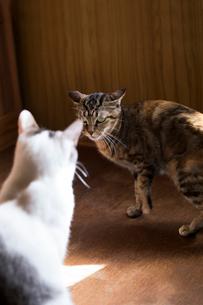 喧嘩する猫の写真素材 [FYI03219477]
