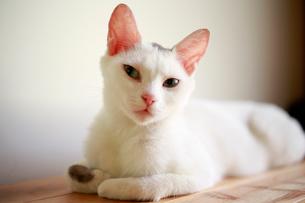 さりげなく見つめる猫の写真素材 [FYI03219481]