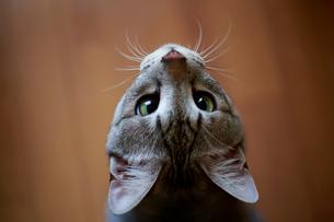見上げる猫の写真素材 [FYI03219482]