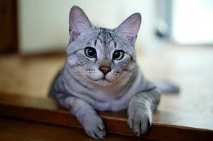 のんびりする猫の写真素材 [FYI03219483]