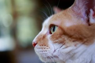 一点を見つめる猫の写真素材 [FYI03219485]