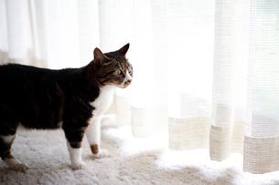 やわらかい日差しを受ける猫の写真素材 [FYI03219488]