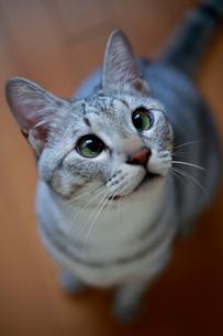 飼い主を見つめる猫の写真素材 [FYI03219490]