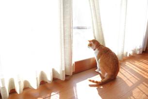 縁側から外を見る猫の写真素材 [FYI03219491]