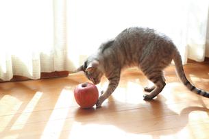 リンゴで遊ぶ猫の写真素材 [FYI03219493]