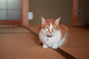 和室でくつろぐ猫の写真素材 [FYI03219494]