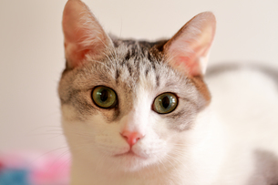 丸々とした猫の目の写真素材 [FYI03219495]